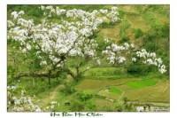 Du lịch Mộc Châu giảm đến 20‰ dịp hè 2013 Mộc Châu - Mùa Hoa Ban Trắng